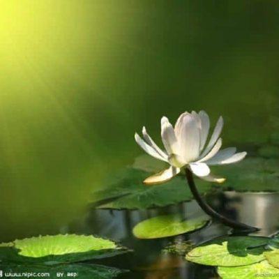 lotus-6-600x516